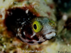 Blenny by Walter Bassi